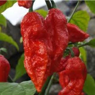 15 Organic Bhut Jolokia Pepper Seeds + Extras!
