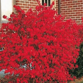 5 FREE Burning Bush Seeds