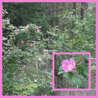 Climbing ~Wild Rose 10+ seeds