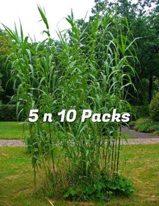 5x Arundo donax Giant River Cane Spanich Cane Rhizomes Organically grown and pesticide free