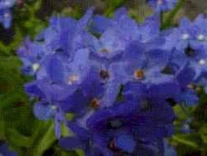 12 plus Anchusa Blue Angel (perennial)