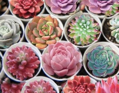 ꧁«Qty 10 Bonsai Succulent Seeds Mix»꧂