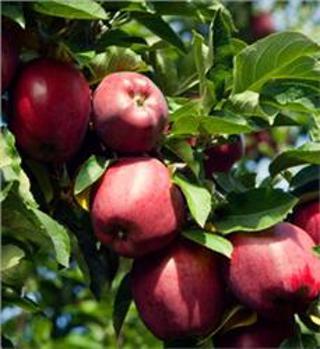 5 Apple Tree Seeds