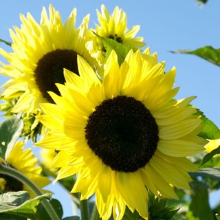 Sunflower Lemon Queen 10+ seeds +bonus