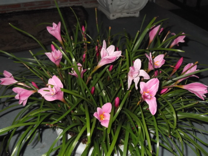 5 LILLY BULBS READY TO PLANT AND BLOOM THIS YEAR FREE SHIPPING WITH GIN