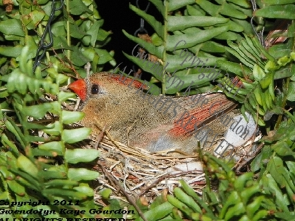 Nesting Cardinal (June 2011) *Limited Edition,First Run Printing of only 100 Prints/with COA!*