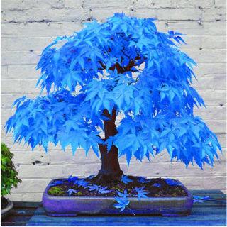 20 pcs blue  maple  seeds