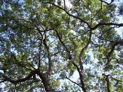 20 Live Oak acorns