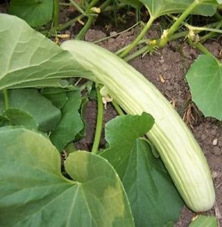 Armenian Yard Long Cucumber - Ancestral Heirloom - 15 Seeds