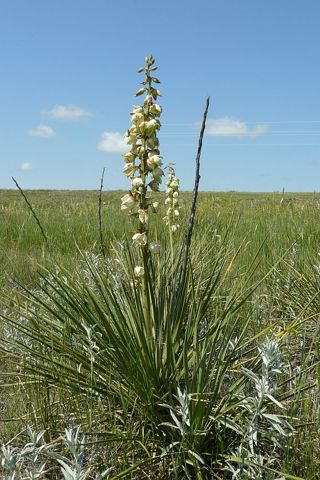 Wild Yucca