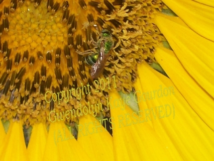 """""""Sweet Nectar"""" Sunflower with Bumblebee 8"""" x 10"""" 1st Run Limited Edition Print(Signed & Numbered)"""