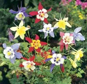 Mixed Colored Columbine Seeds