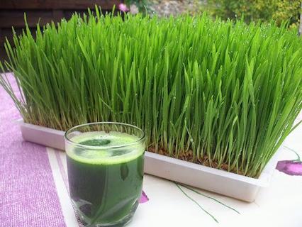 Wheatgrass---Liquid sunshine  20 seeds
