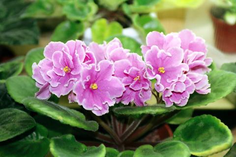 Seeds - African Violet Seeds