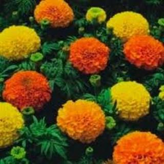 NIP Marigold Crackerjack Mixed Colors Seeds