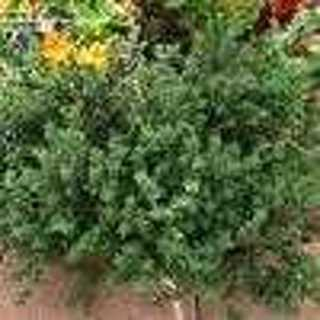 25 plus English Thyme seed (Perennial Herb)