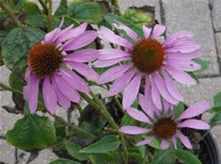 brown eyed susans  purple color seeds