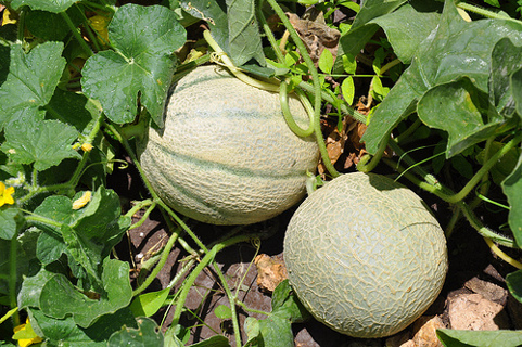 Cantaloupe Seeds - Organic