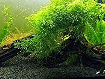 Aquarium Java Moss