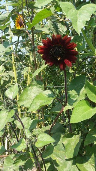 50 velvet queen sunflower seeds
