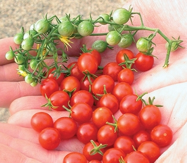 Organically Grown Heirloom Red Currant Tomatoes - 20 Seeds