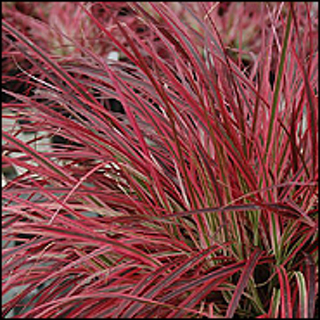 Free red ornamental grass seed gardening seeds bulbs for Red landscaping grass