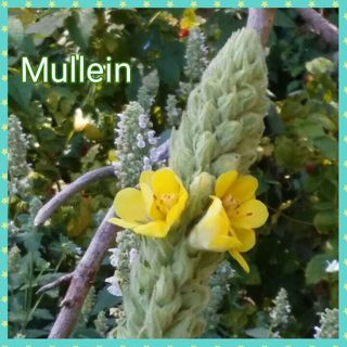 ~Medicinal Mullein~ 100+ seed pack