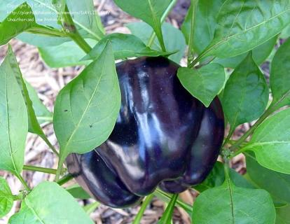 Purple Bell Pepper Seeds (10) ~ FREE SHIPPING!