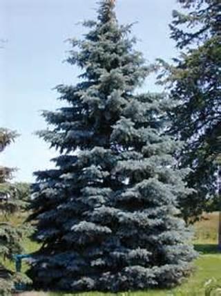 8 plus Colorado Blue Spruce seed...