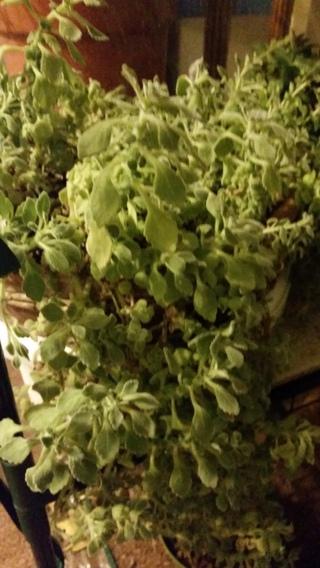 VICK'S PLANT SUCCULENT-Plectranthus tomentosa - 4 CUTTINGS
