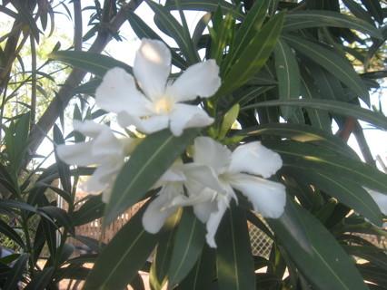 White Nerium Oleander  W/GIN