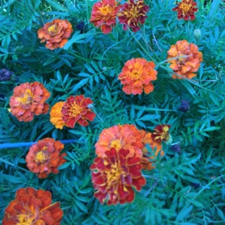 Marigold, French Dwarf mixed colors