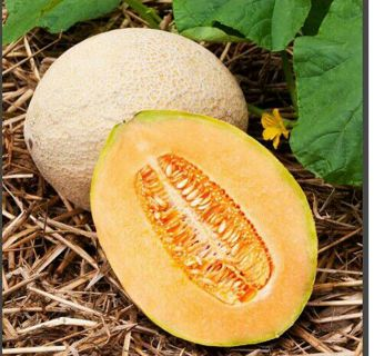 5+ JUMBO Cantaloupe SEEDS WITH GIN OPTION