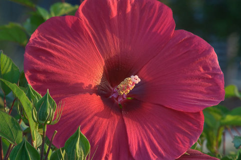 10 RED HIBISCUS SEEDS
