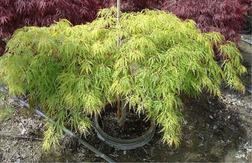 Free 10ct Green Lace Leaf Japanese Maple Acer Palmatum Matsumurae