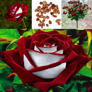 100pcs osiria ruby  Roser seeds