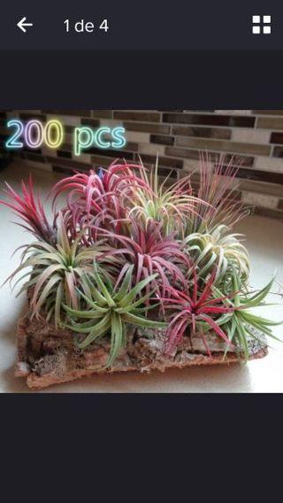 200 pcs x Tillandsia Seed