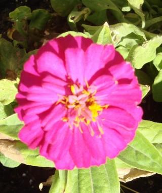 Zinnia mix color seeds.