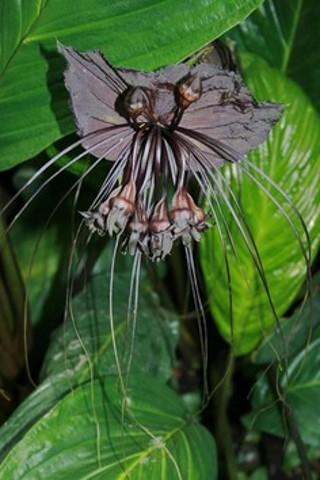 "Black Bat Flower ""seeds 5"" 4 days only"