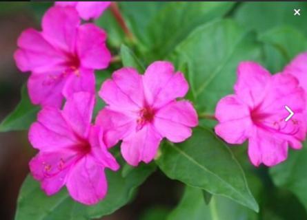 Hot Pink 4 O'Clock Seeds 12+