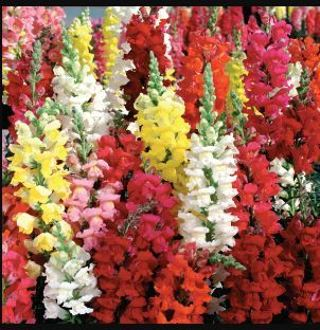 20 Snapdragon Seeds Tall variety