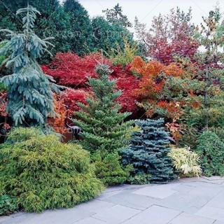 20 seeds/bag Plant Colorado sky Blue Spruce Picea Pungens Glauca Tree Seeds sementes perennial seeds