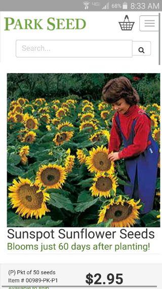 50 dwarf sunflower seeds. #2