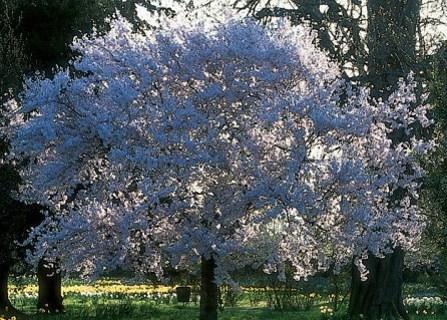 """"""" Princess Royal Empress Tree Seeds """""""