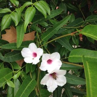 White Trumpet flower seeds (20+)