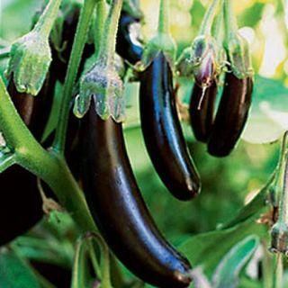 Ichiban Anese Eggplant Organic Nongmo 20