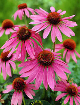 cone flowers seeds