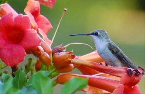 25 Organic Trumpet Vine SEEDS. Hummingbirds Love It !!!