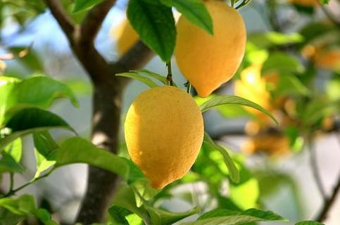 FRESHLY HARVESTED & SHUCKED LEMON TREE SEEDS (8)
