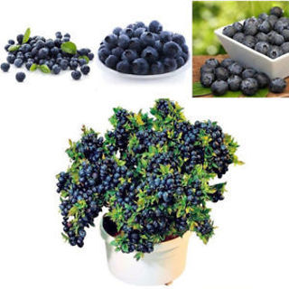 50Pcs Blueberry Tree Seed Fruit Blueberry Seed Potted Bonsai Seeds Plant
